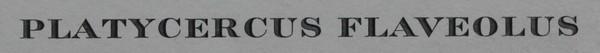 Platycercus Flaveolus
